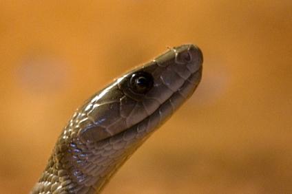 Ի՞նչ է խոստանում սև օձի տարին հորոսկոպի յուրաքանչյուր նշանի համար