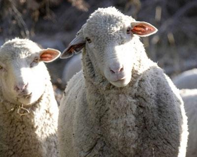 Արագածոտնի մարզում էլեկտրագնացքը բախվել է ոչխարի հոտին. 63 ո....