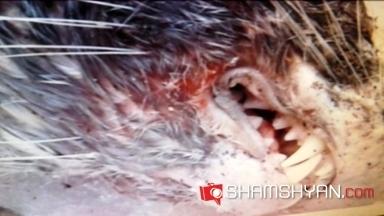 Սևանի հարևանությամբ գտնվող Հարսնաքար հյուրանոցի մոտից կասկածելի կենդանի են որսացել